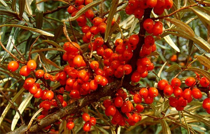 sea ​​buckthorn oil