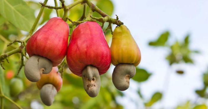 cashews useful properties and contraindications