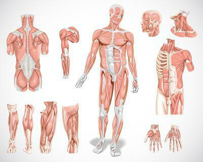 Muscle types of muscles