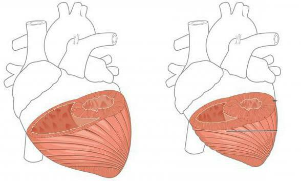 structure and work of the heart