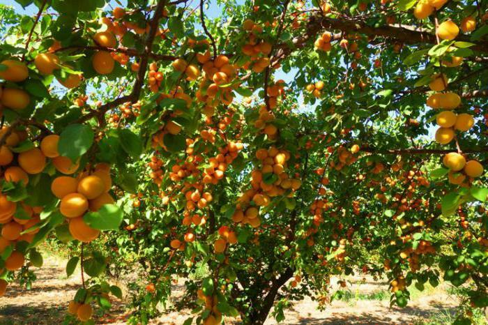 useful properties of apricots and contraindications