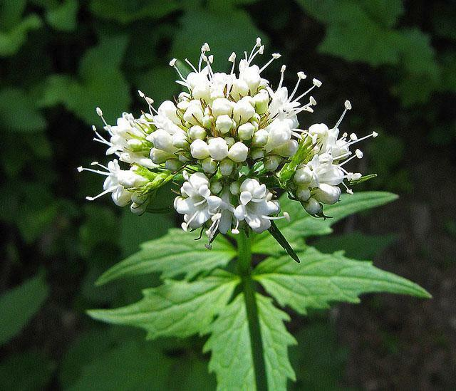 that it is better to have motherwort or valerian