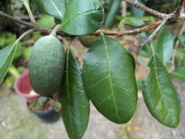feijoa useful properties and contraindications reviews